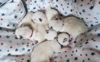 DareToDream Ragdolls Kittens Slovenia